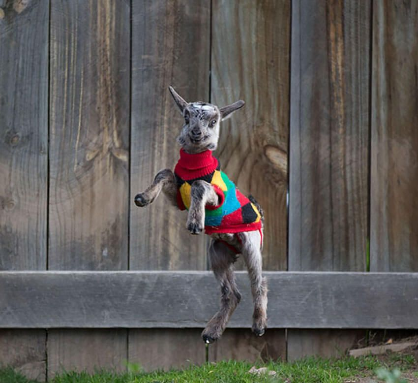 Happy goat in a Winter sweater
