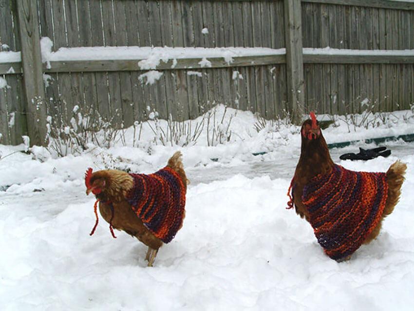 Chickens making a bold fashion statement.