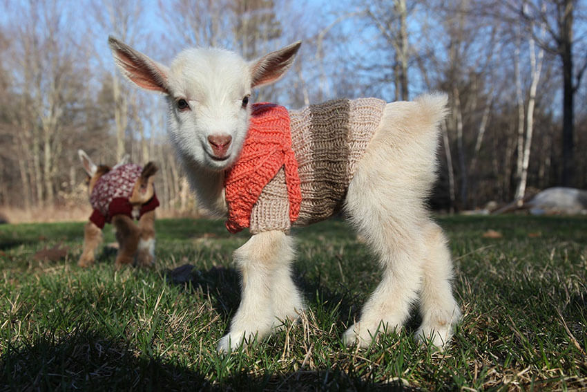 This baby goat is begging for some hugs!