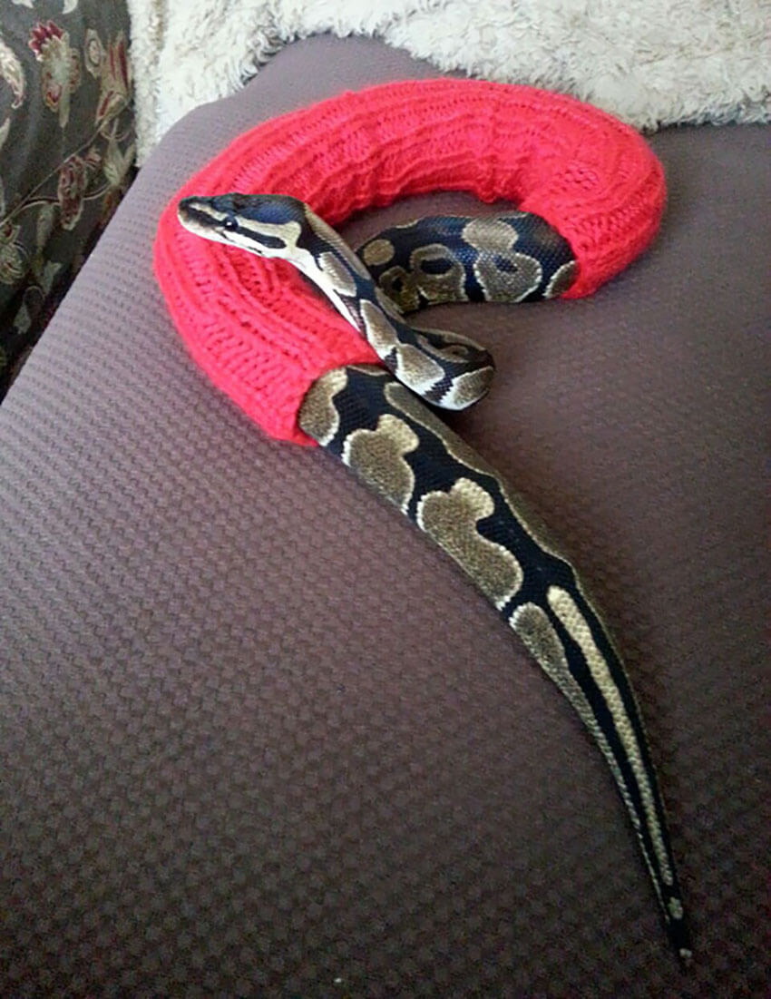 """His owner said """"He simply crawls in it and wears it around. Isn't it cute?"""