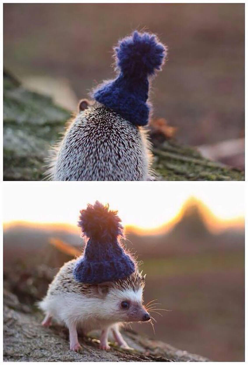 This cute hedgehog wearing a winter hat can instantly brighten up your day!