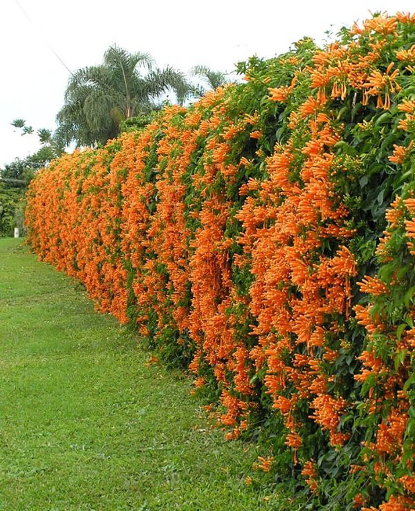 Choose a beautiful plant to decorate the fence!