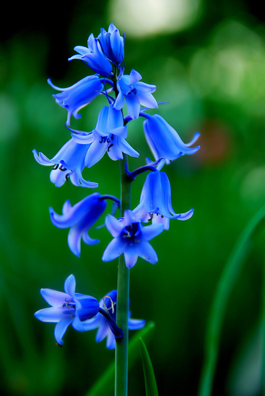 A bluebell showing off its beautiful blue color.
