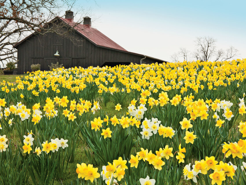 Beautiful fiel of daffodils in early spring.