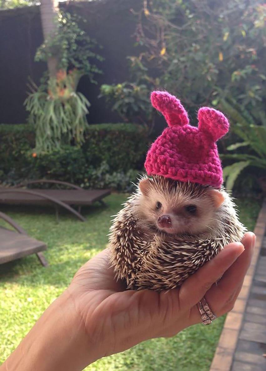Hedgehog in Bunny Hat
