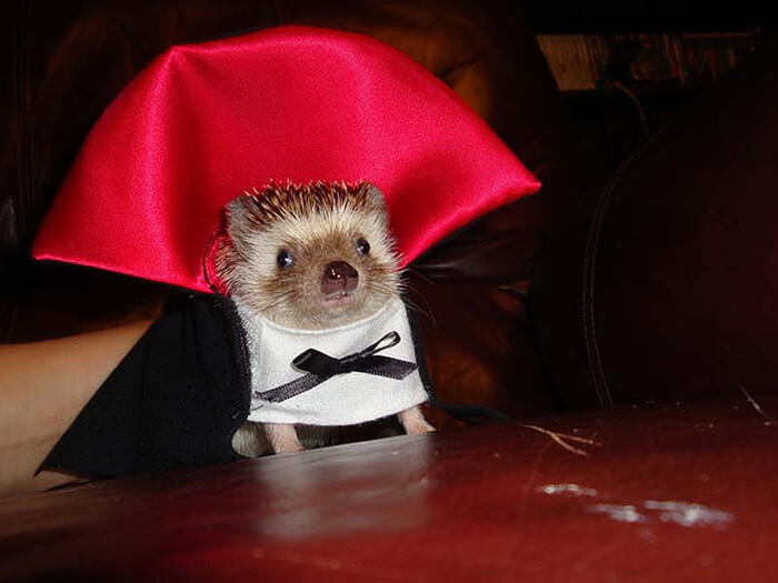 Make your hedgehog even more adorable by dressing it up!