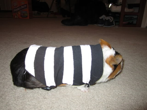 Get your little furry friends in on the fun too! This prisoner costume for Guinea pigs is super cute!