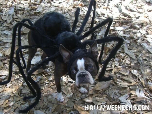 Dress your dog up like a spider for Halloween!
