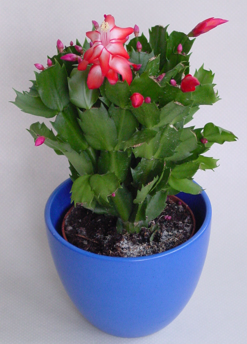 This is a very strong plant that can last for years. Image Source: Wikipedia