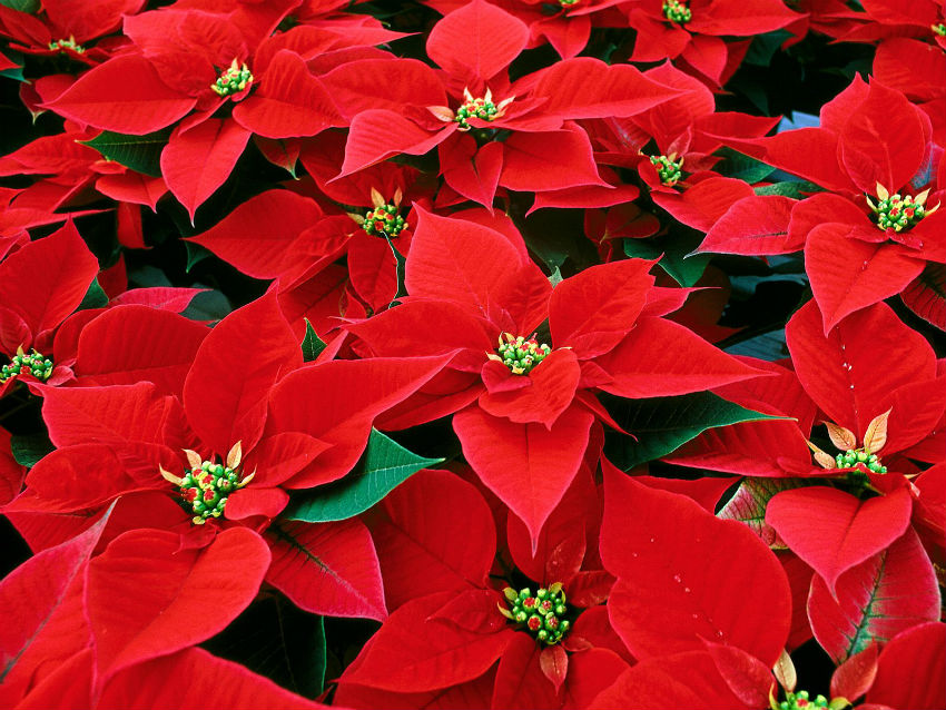 Poinsettias are undoubtedly the most popular holiday plants, and with some care they can last for quite a while after the holiday season. Image Source: Cruindy