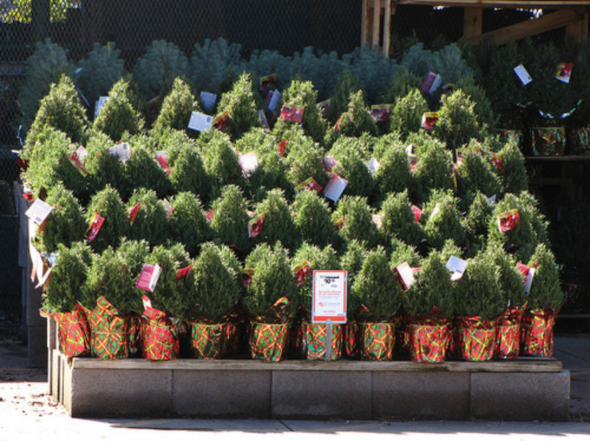 Rosemaries are popular at Christmas because they make pretty, tiny Christmas trees. Image Source: Vegetable Gardener