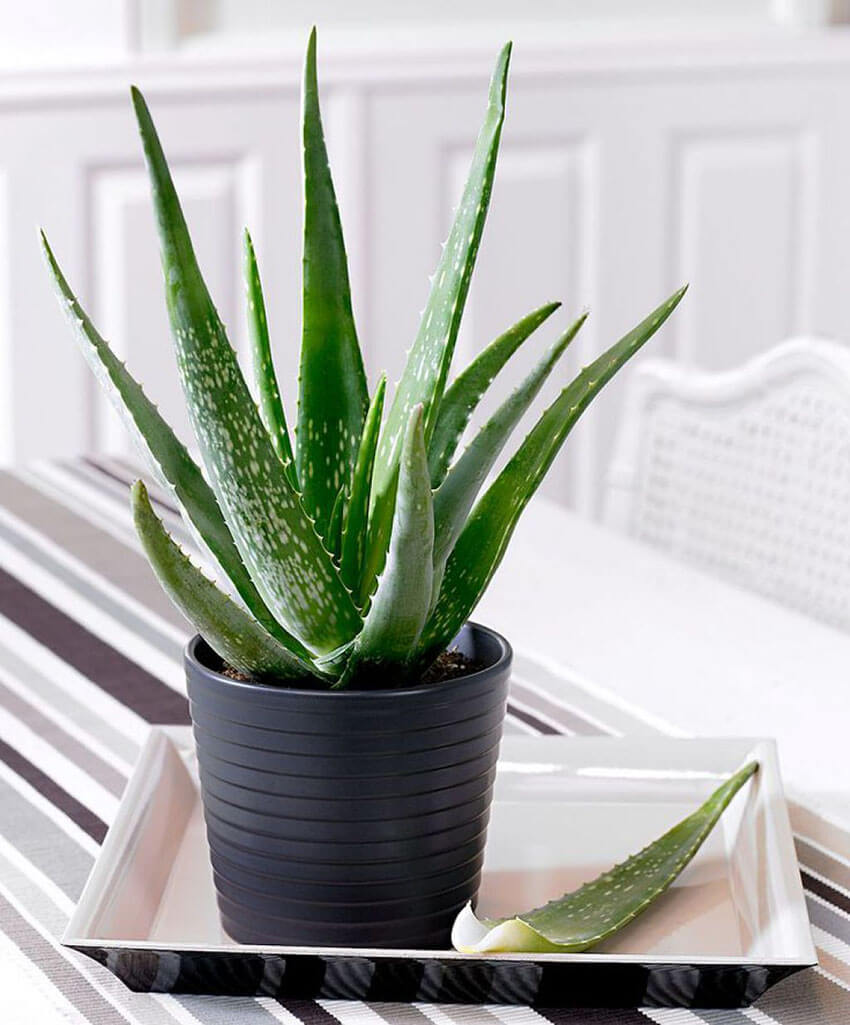 Aloe vera is easy to take care of and grow, and the gel inside the leaves has countless benefits.