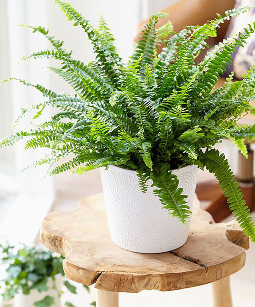 Place a few clusters with Boston fern around the house and it will renovate the room!