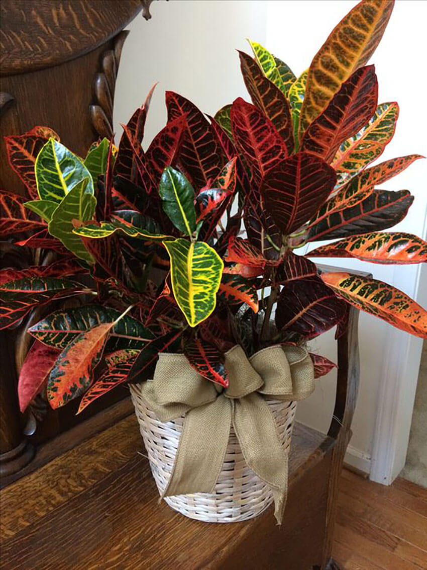 Crotons are amazingly beautiful, they decorate the house in a beautiful way and boost your creativity in the process.