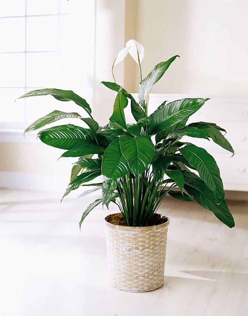 A peace lily is the perfect plant to renovate a room and relax the environment.