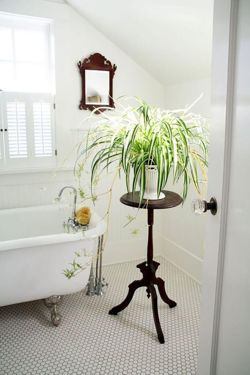 Spider plants are very easy to take care of and look beautiful anywhere.