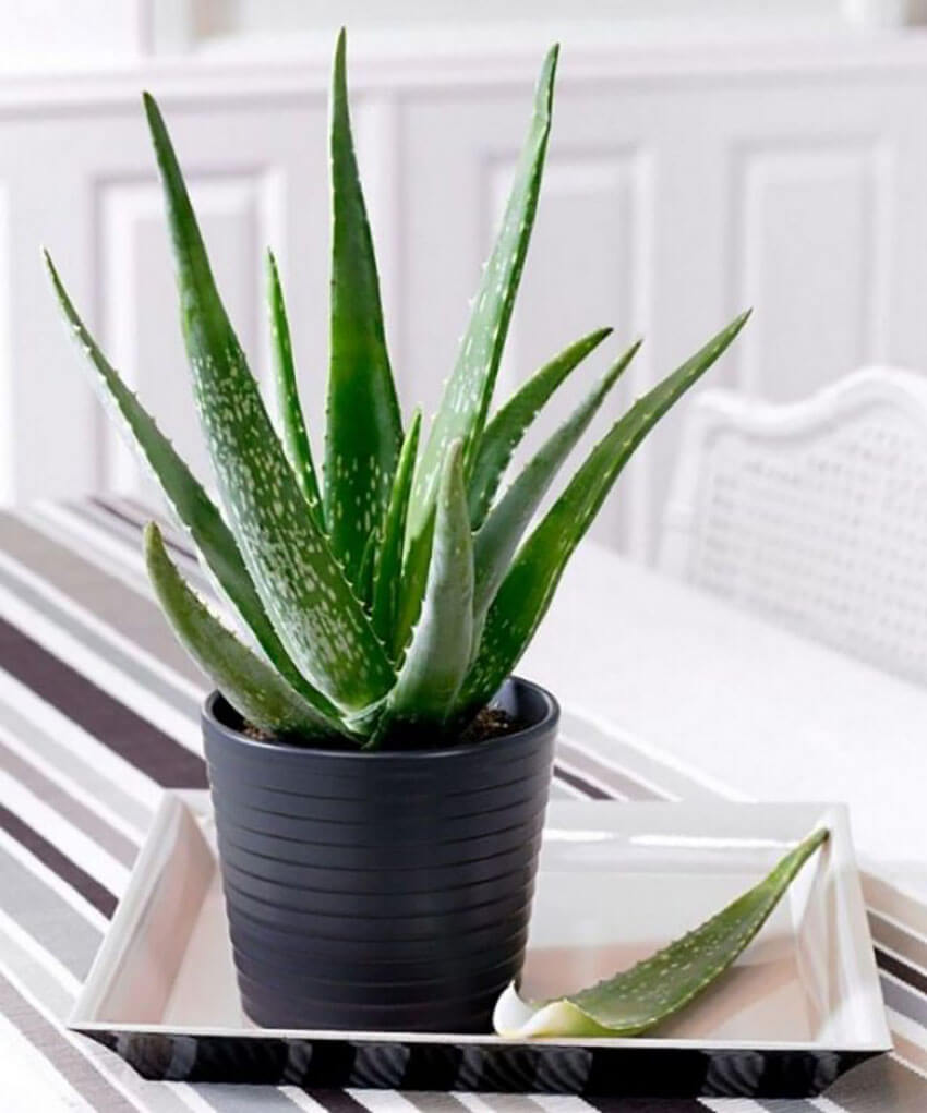 Aloe Vera is known to have countless benefits.