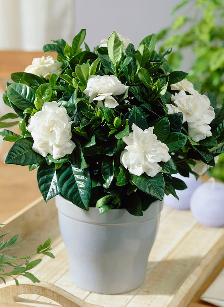 Gardenia is a gorgeous option to decorate the house.