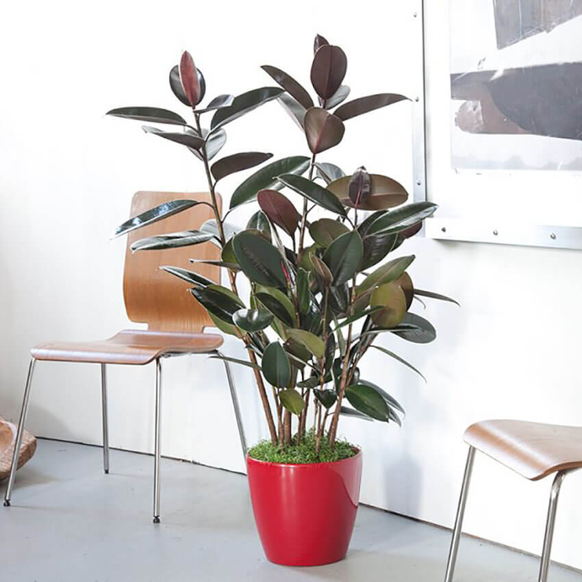 The Rubber Tree is an air purifying plant, cleansing it from formaldehyde.