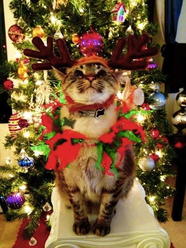 This cat is adorably proud about being a reindeer for the holidays!