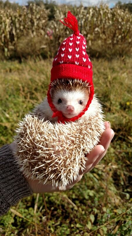 Hedgehogs are finally getting the attention they deserve for being so cute, so why not dress up your little spiky friend for the holidays?