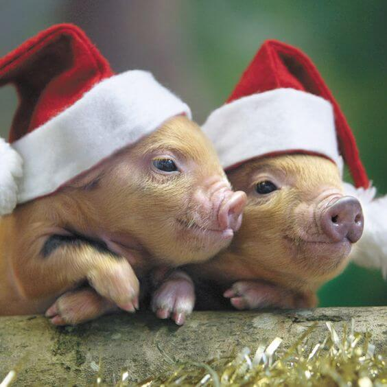 Piglets in Santa hats are more adorable than you'd think!