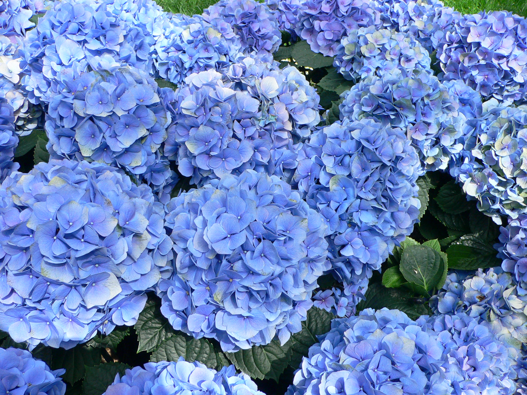 Hydrangeas are big and colorful and can thrive in just about any soil.