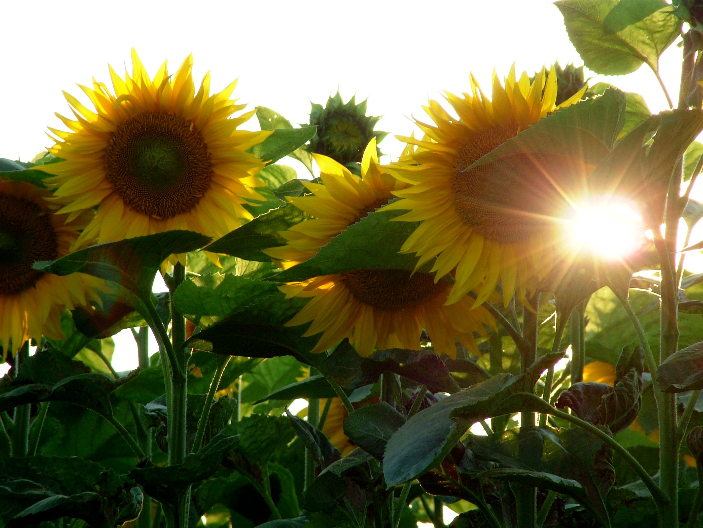 Sunflowers, for most people, are the perfect symbol of summer!
