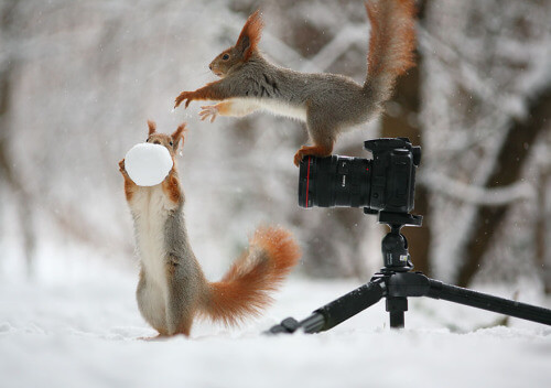 These squirrels are about to have a fun-filled snowball fight.