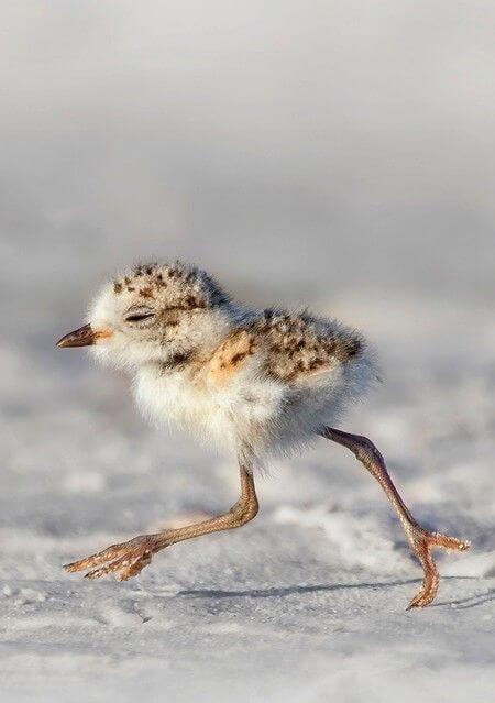 A baby bird running through snow.