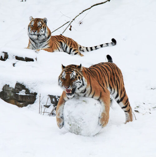 This tiger wants to build a snowman.