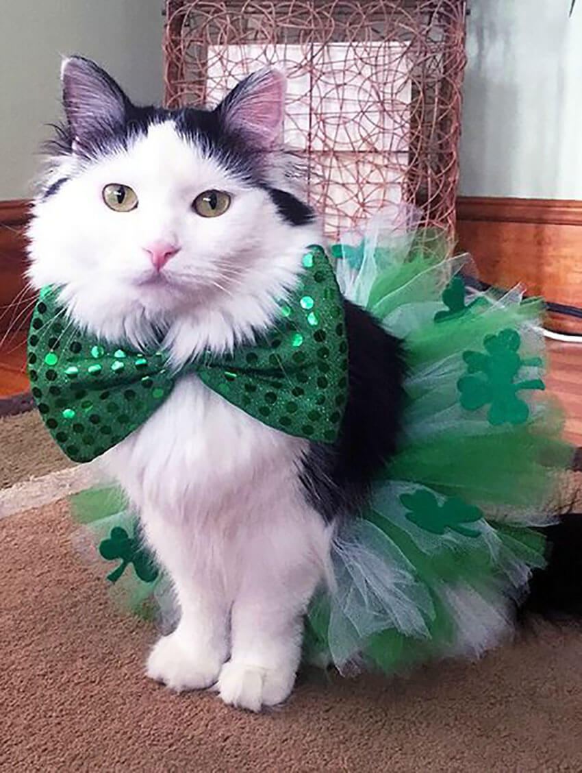 Adorable Dressed Up Cat