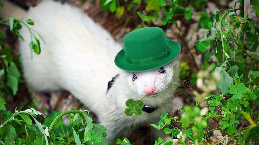 Lucky Ferret