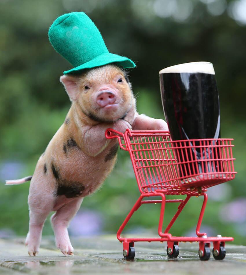 St. Piggy's Day