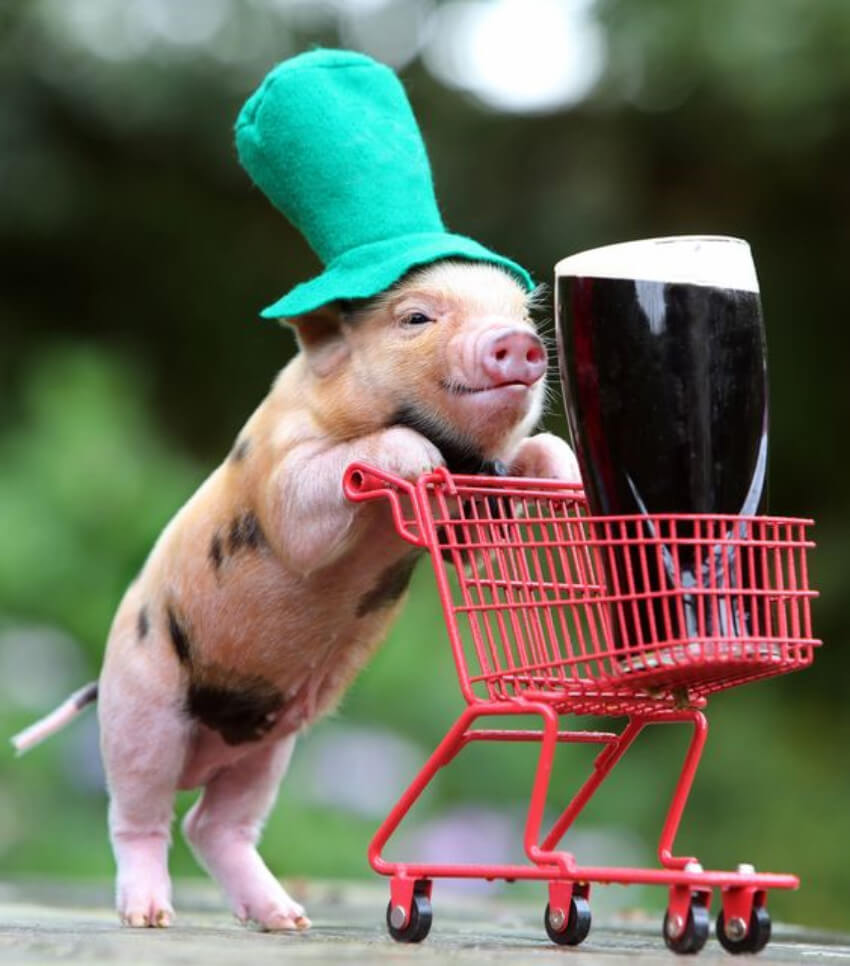 This pig is full of class and cuteness!