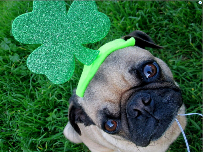Pugs are adorable creatures, even more so when they bring you some good luck!