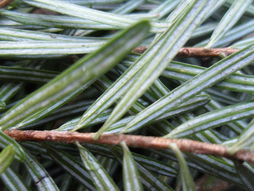 Fresh - 6 Tips for Picking the Perfect Christmas Tree