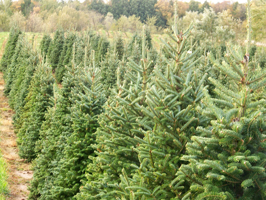 Day off - 6 Tips for Picking the Perfect Christmas Tree
