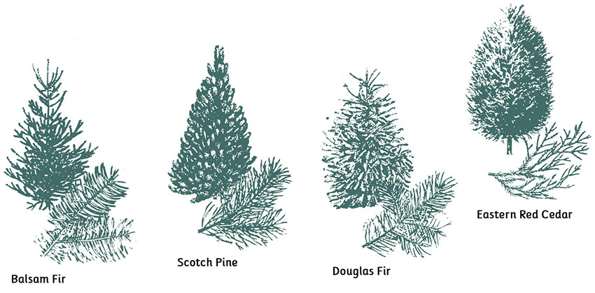 Tree Types - Tips for Picking the Perfect Christmas Tree