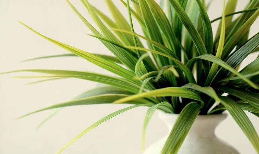 Plants can benefit from coconut oil too, just rub a drop of it onto the leaves!