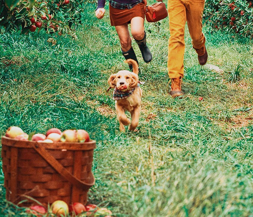 This dog wants to get all the apples available, what a spirit!