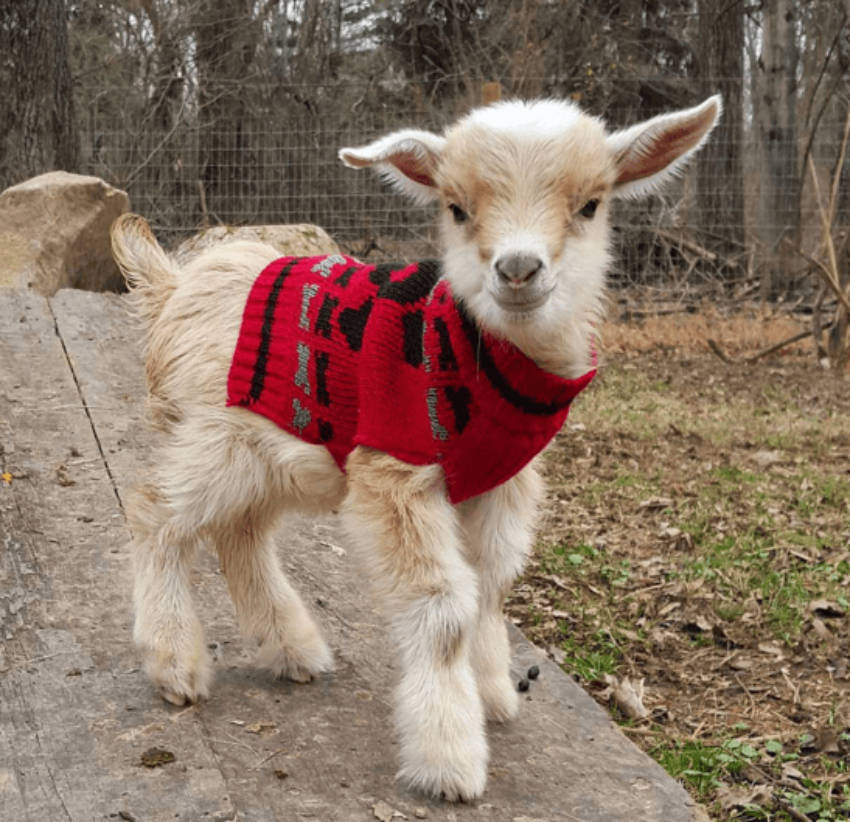 It's sweater weather for baby goats too!