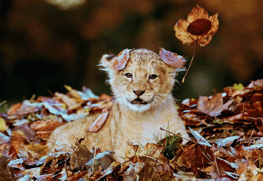 Happy lion lying on fallen autumn leaves!