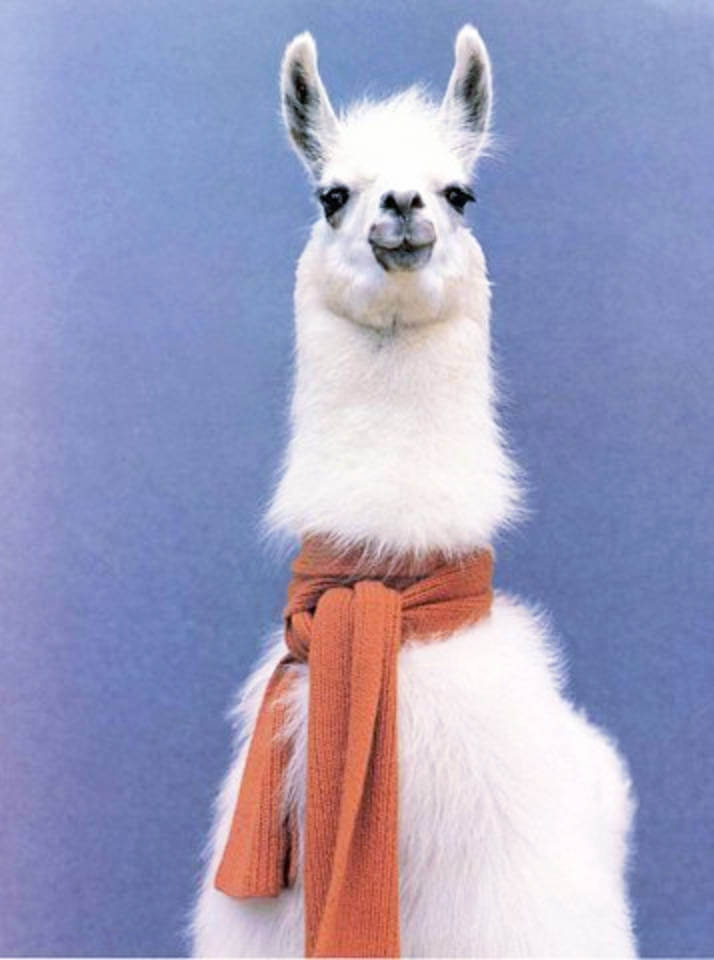 This llama is so ready to enjoy the cooler weather with its scarf!