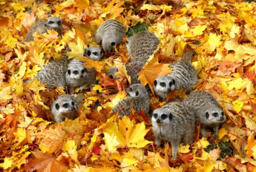 Meerkats and leaves, such a nice combo for a picture!