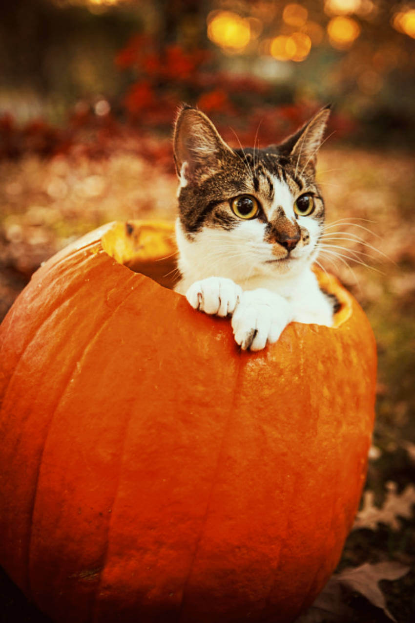 This cat wants not only to go pumpkin picking, but living in it!