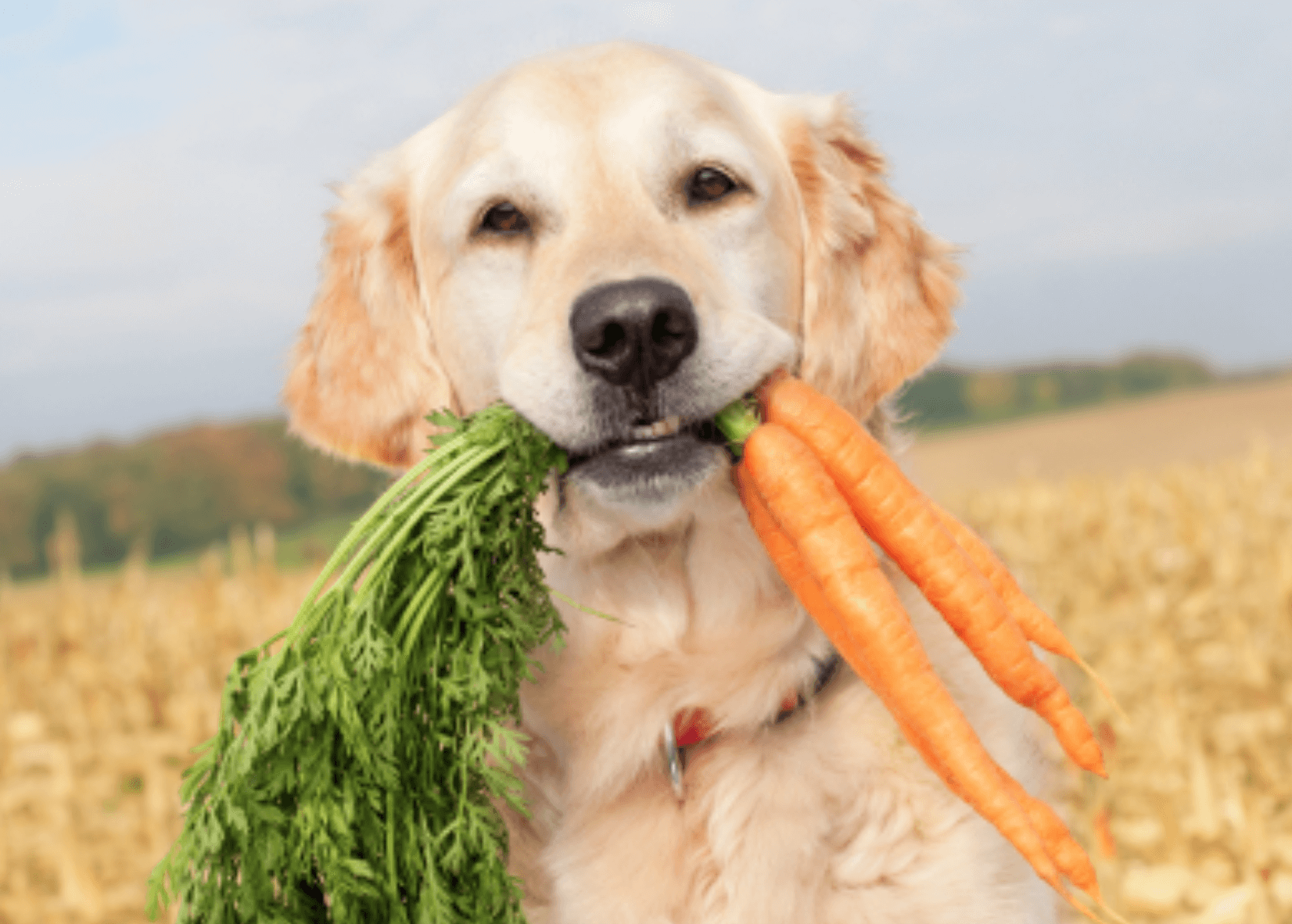 Is he eating the carrot or playing fetch with a farmer?