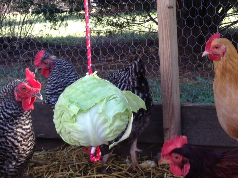 The DIY Hanging Cabbage (Plus 3 Other Fun Ways to Feed Chickens)