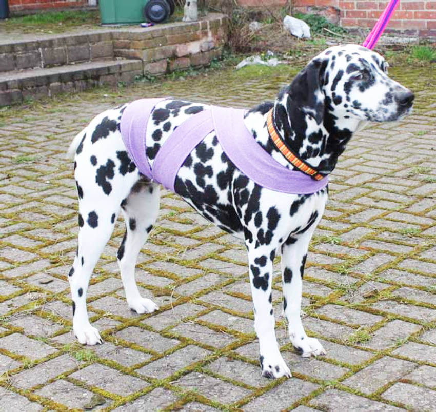 Dalmations are really aggitaded species, but the dog half wrap helps keep it calm!