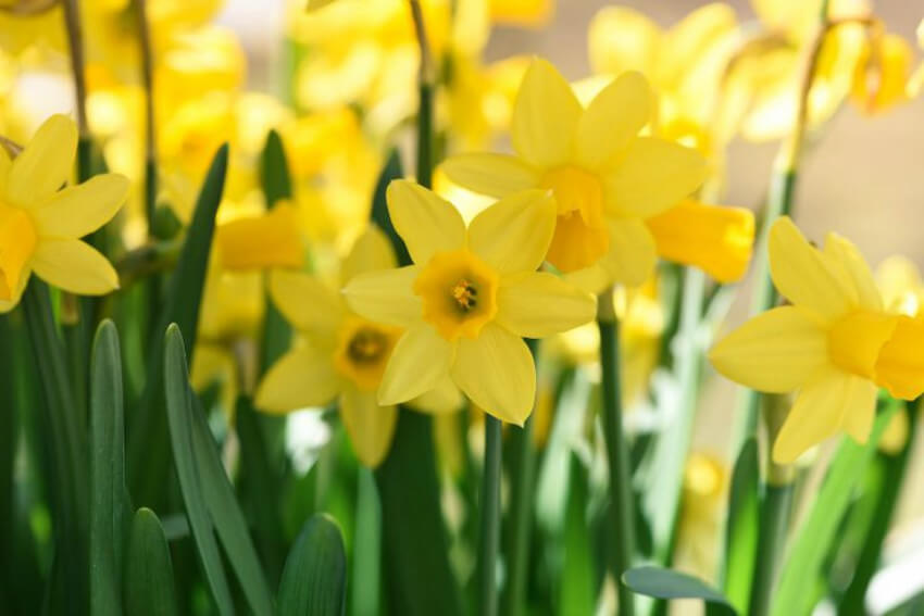 Daffodils are gorgeous and will bloom in spring if you plant them now.